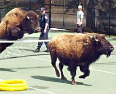 Bison_tennis